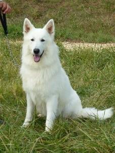 chiens-Berger-Blanc-Suisse-93daa528-40ba-85b4-8d3a-d71e1d977add